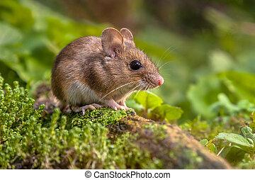 cute, rato, madeira, natural, habitat