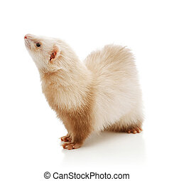Cute red ferret
