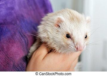 Cute red ferret