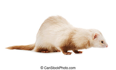 Cute red ferret  isolated on white background