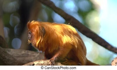 cute red hair monkey at safary