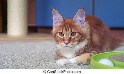 Maine Coon kitten play