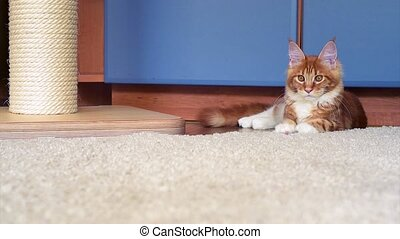 Maine Coon kitten play - Cute red Maine Coon kitten playing...