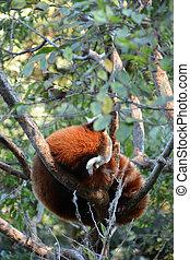 Cute red panda at the tree