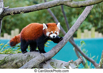 Cute red panda - Photo of a cute red panda on the tree