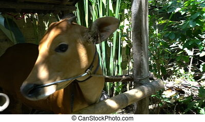 cute red small indonesian cow face looking to camera, funny