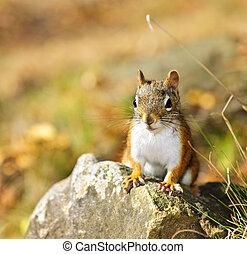 Cute red squirrel closeup