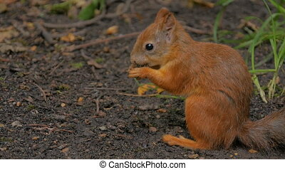 Cute red squirrel eating nut in the park - Cute red squirrel...