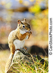 Cute red squirrel eating nut sitting on rock