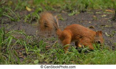 Cute red squirrel hiding nut - Cute red squirrel eating and...