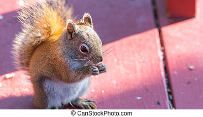 Cute Red squirrel, quick little woodland creature.