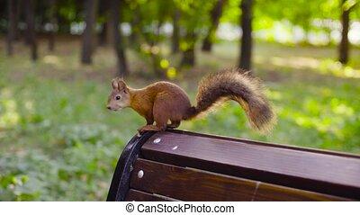 Cute Red Squirrel sitting in a park - Cute Red Squirrel...