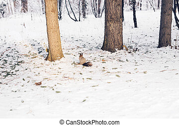 Cute red squirrel sitting in the snow in winter wood.