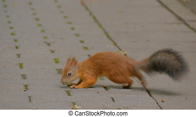Cute red squirrels eating nuts in the park - Cute red...