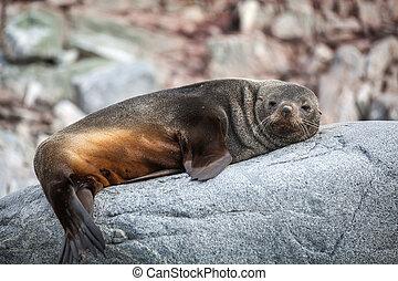 cute, relaxante, leão, antártica, mar, rocha