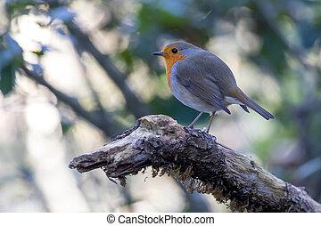 Cute robin bird on the tree branch