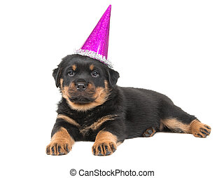 Cute rottweiler puppy dog lying down on a white background wearing a pink party hat