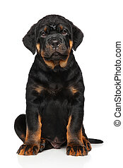 Rottweiler puppy dog on white