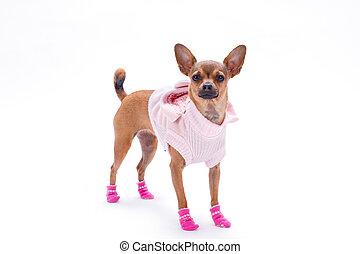 Cute russian chihuahua in fashion apparel.
