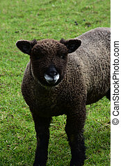 Adorable ryeland sheep in Herefordshire Northern England.