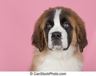 Cute saint bernard puppy at a pink background