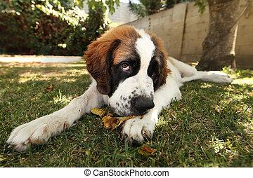 Saint Bernard Puppy Lying in the Grass Outdoors