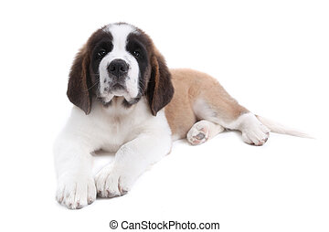 Cute Saint Bernard Puppy on White