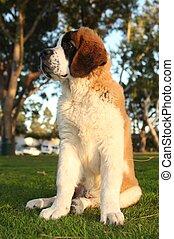 Cute Saint Bernard Purebred Puppy - Adorable Saint Bernard ...