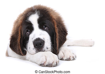 Cute Saint Bernard Purebred Puppy