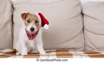 Cute funny happy santa christmas jack russell terrier pet dog puppy catching and eating treats, licking mouth on the sofa.