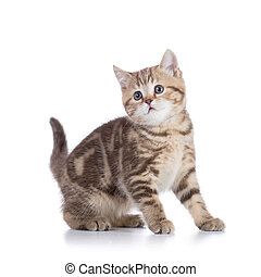 Cute scottish shorthair kitten cat isolated