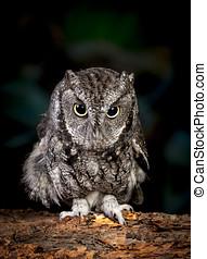 Cute screech owl.