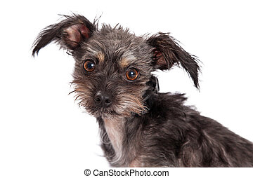 Cute Scruffy Terrier Crossbreed Dog Closeup