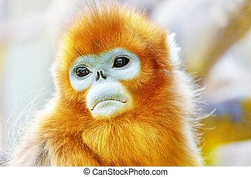 cute, seu, natural, macaco, habitat, dourado, snub-nosed,...