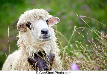 cute sheep in meadow