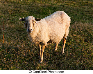 Cute sheep