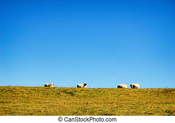 Cute sheeps on the hill
