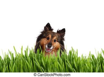 Cute Sheltie behind grass