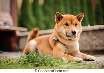Cute Shiba Inu in the blue butterfly on the leash lying on the walkway