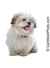 cute shih tzu dog - happily shih tzu dog isolated on a white...