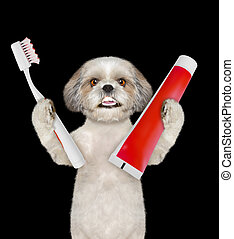 Cute shitzu dog clean the teeth with a toothbrush. Isolated on black