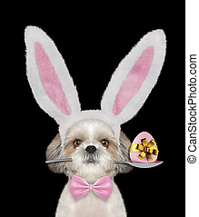 Cute shitzu dog with rabbit ears and easter egg. Isolated on black