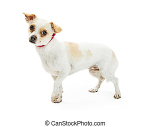 Cute Shy Chihuahua Crossbreed Dog