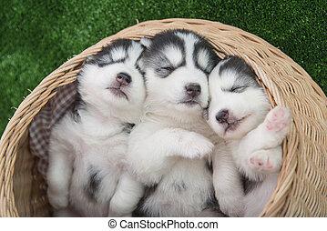 siberian husky puppies sleeping in basket bed