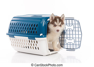 siberian husky puppy in travel box o