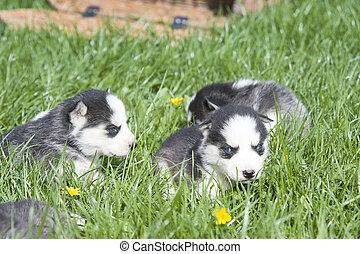 siberian husky puppy - cute siberian husky puppy on grass