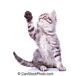 tabby cat reaching for something - cute silver tabby cat...