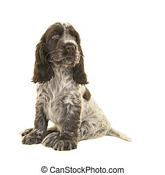 Cute sitting chocolate and white cocker spaniel puppy dog looking back and up over its shoulder isolated on a white background