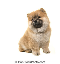 Cute sitting chow chow puppy looking over its shoulder isolated on a white background