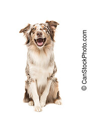 Cute sitting smiling australian shepherd facing the camera with its mouth open
